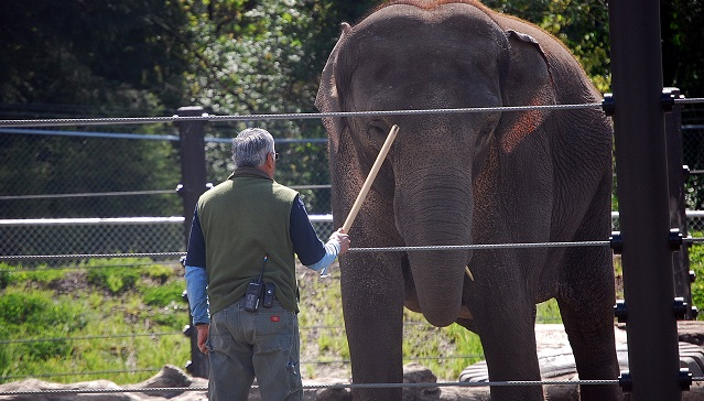 Oregon Zoo elephant Rose-Tu and an elephant keeper, April 2015 (KOIN 6 News)