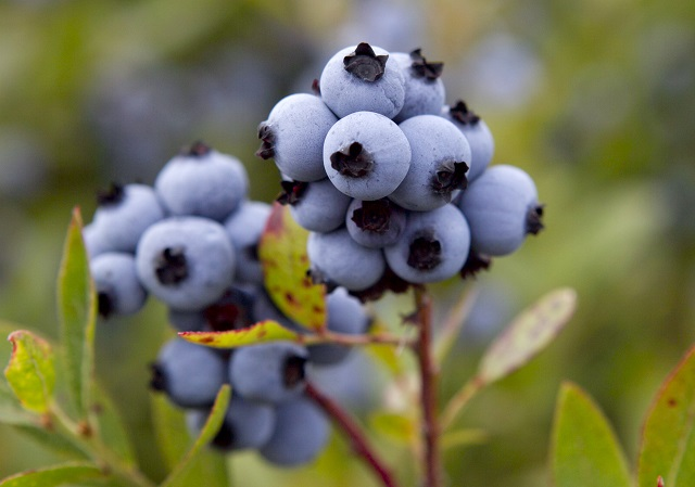 Blueberry Harvest_167159