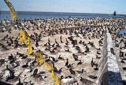 A small portion of the East Sand Island, Wash., cormorant colony. (Damian Mulinix/Daily Astorian via AP, File)