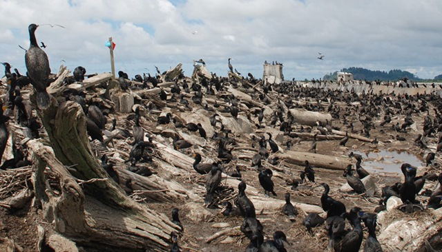 Double Crested Cormorants nest on on East Sand Island, located north of Astoria on the Washington coast.  (Undated, US Army Corps of Engineers)