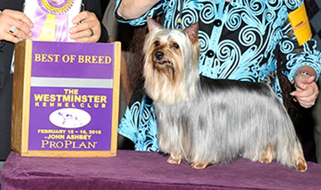 silky terrier westminster dog show 02152016_272492