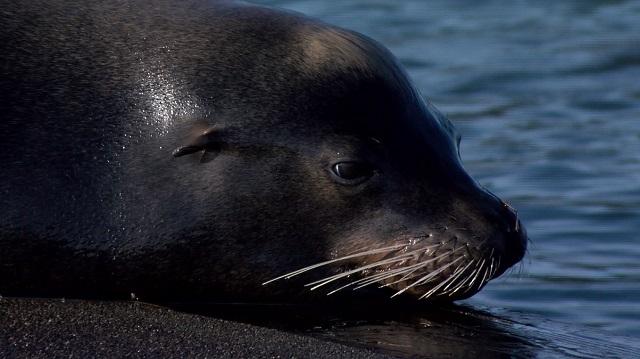 Astoria Sea Lion 3172016_283838