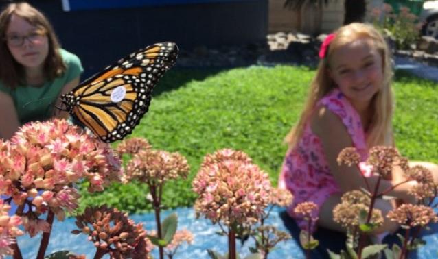 Monarch butterflies in Portland, July 25, 2016 (KOIN)