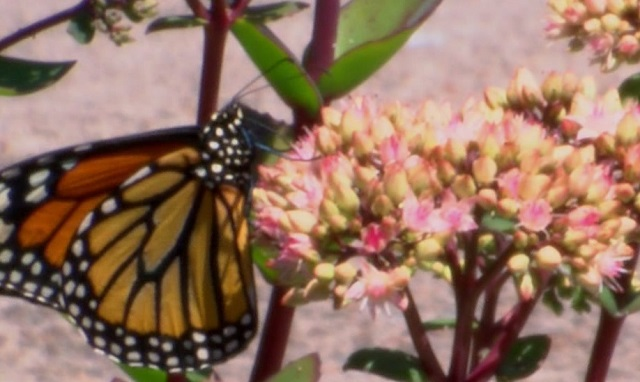 A monarch butterfly in Portland, July 25, 2016 (KOIN)