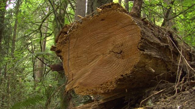 This fallen cedar blocked a culvert in Forest Park in Northwest Portland, August 31, 2016 (KOIN)