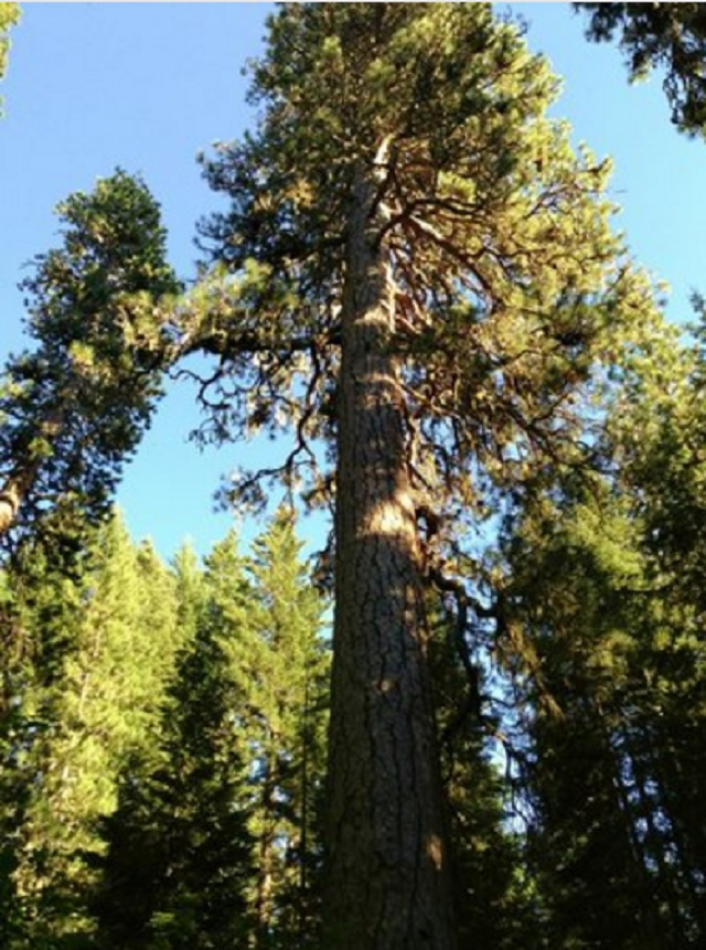 big-tree-gifford-pinchot-national-forest-11282016_375196