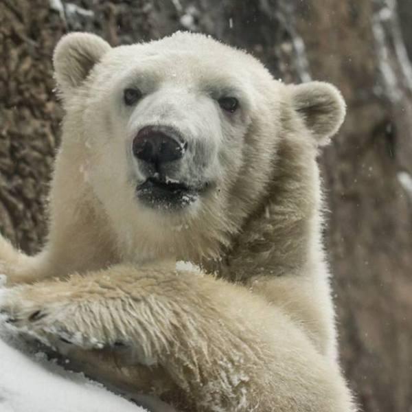 Nora Oregon zoo polar bear_392053