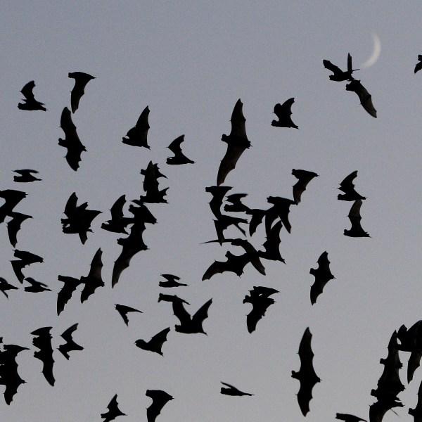 Texas Drought Bats_485251