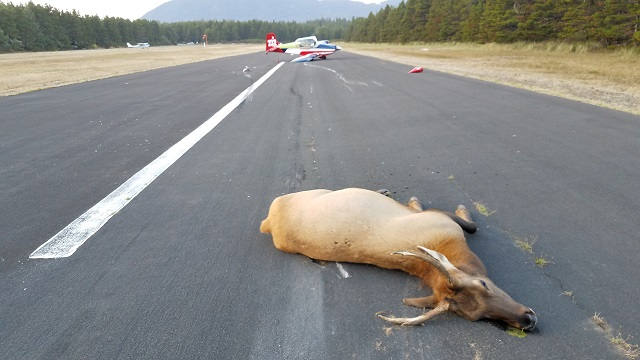 A pilot landing at Nehalem Bay State Park hit and killed 2 elk that ran in front of this plane, September 16, 2017 (OSP)