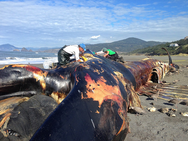 OSU researchers hope to raise blue whale carcass from Yaquina Bay for educational display