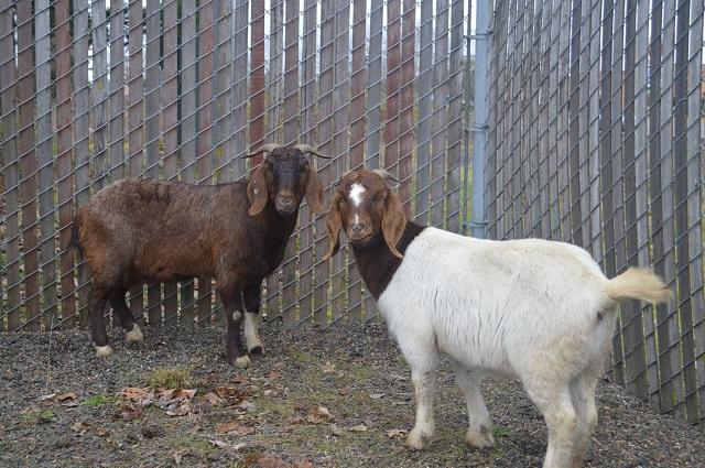 goats 2 2. 27.18