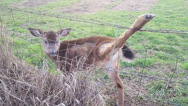 rescued deer OSP