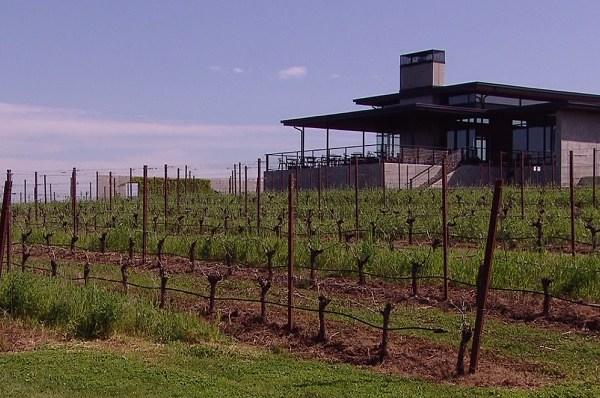 ponzi vineyard wine grapes harvest
