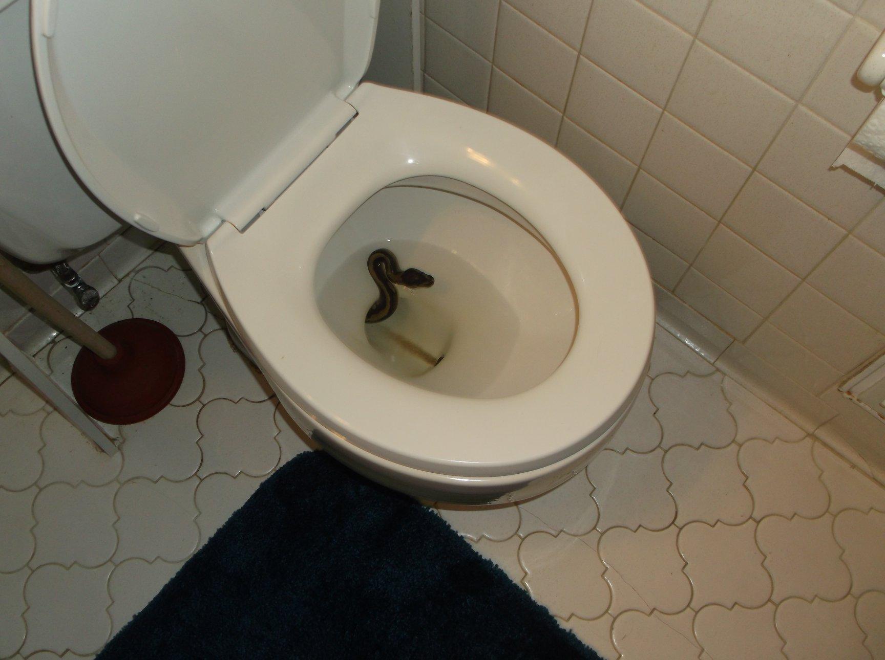 snake in toilet_1532108502321.jpg-873703993.jpg