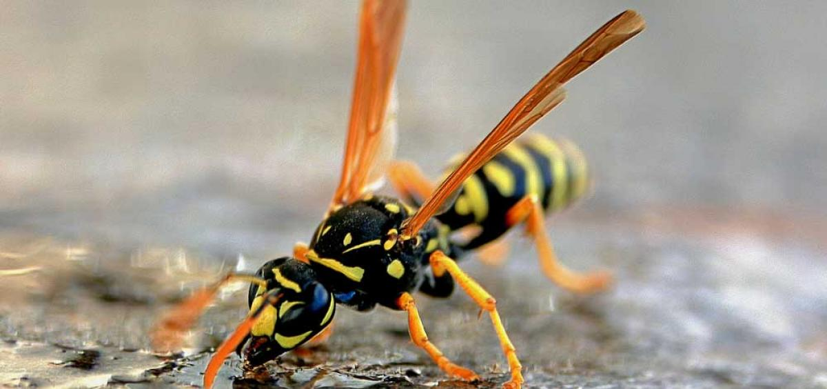 yellowjacket4_1533707783106.jpg