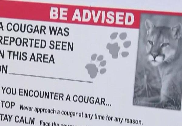 cougar_1536708807745.jpg