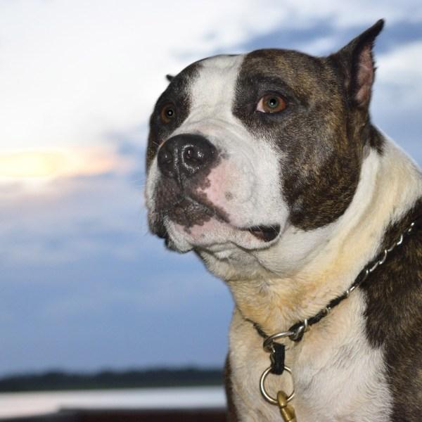 generic pit bull 09152018 pdp_1537030026238.jpg.jpg