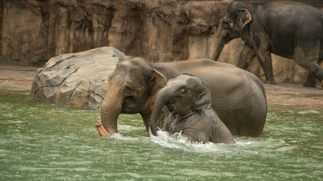 Lily and her mom, Rose-Tu, enjoy a swim in the Oregon Zoo's new 160,000-gallon pool for pachyderms, Dec. 12, 2015. (Courtesy: Oregon Zoo)