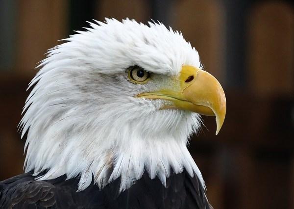 generic bald eagle 11172018 pdp_1542479994355.jpg.jpg