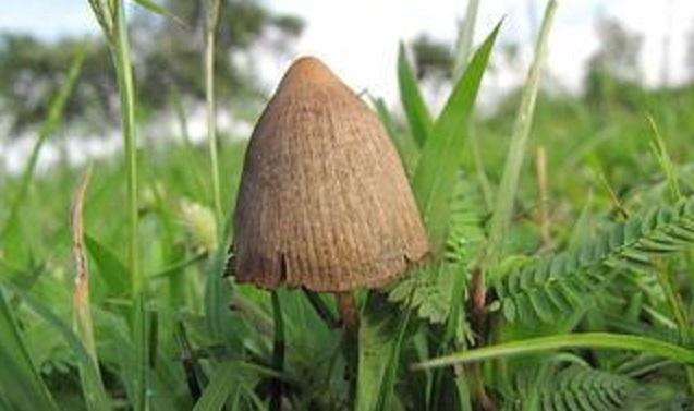 generic psilocybin mushroom 12032018 dea_1543873875402.jpg.jpg