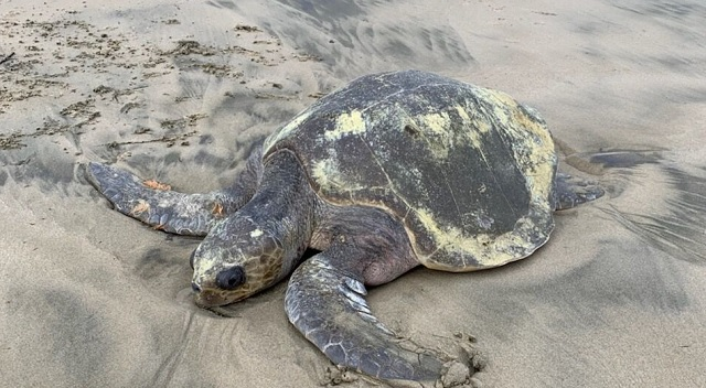 stranded sea turtle 12152018_1544930984741.jpg.jpg