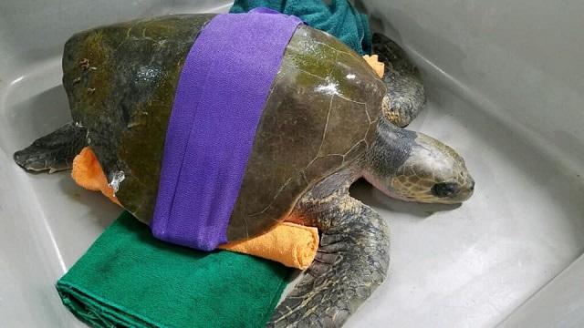 stranded sea turtle 4 12152018_1544931143513.jpg.jpg