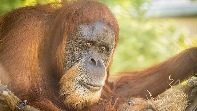 inji orangutan 01302019_1548887863915.jpg.jpg