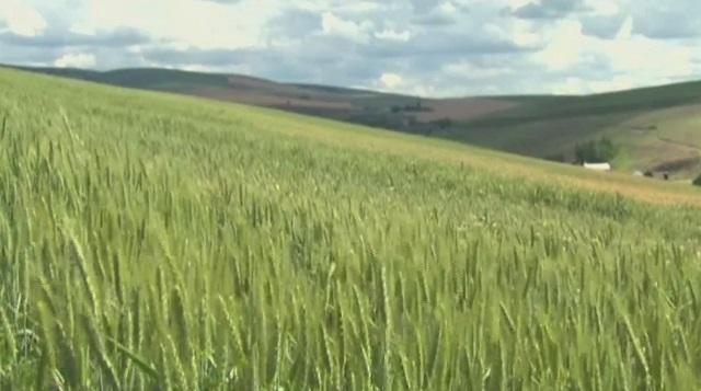 generic wheat field farm oregon_1557875650181.jpg.jpg
