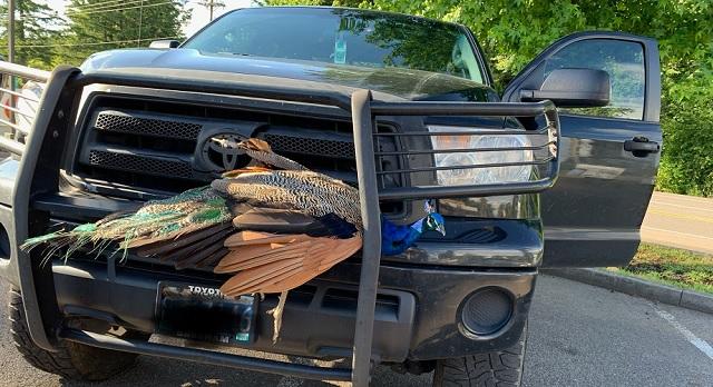 stuck peacock clackamas county_1559057516670.jpg.jpg