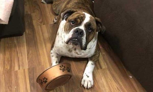 Roscoe bulldog b 06142019_1560549158285.jpg.jpg