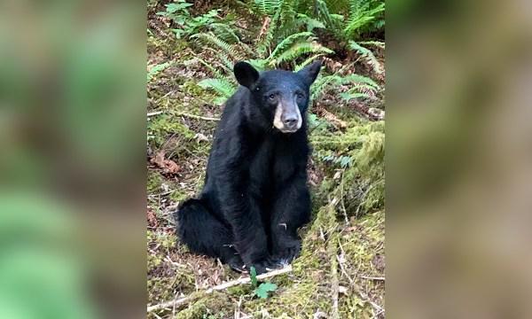 habituated black bear b 06132019_1560494235771.jpg.jpg