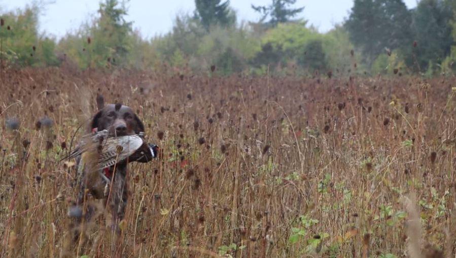 pheasant hunt 92219