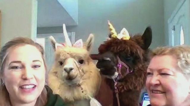 Llama Mama Shannon Joy and the Alpaca Boys on AM Extra ...